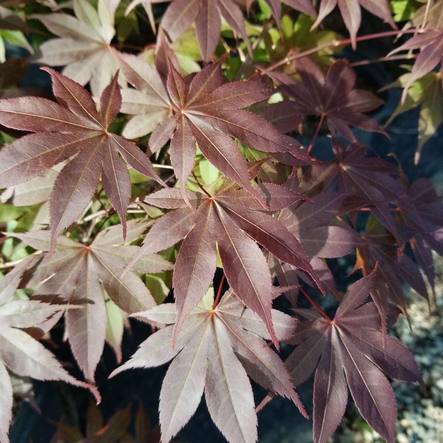 Picture of Acer palmatum 'Bloodgood'