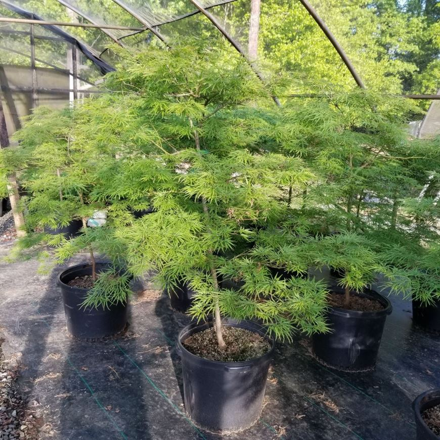 Picture of Acer palmatum var. dissectum 'Viridis'