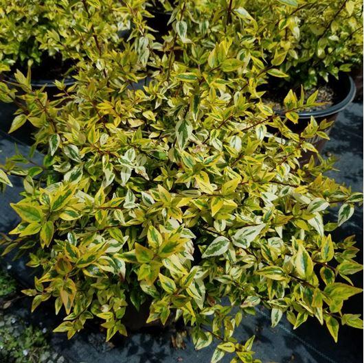 Picture of Abelia x grandiflora 'Kaleidoscope' (PP 16988)