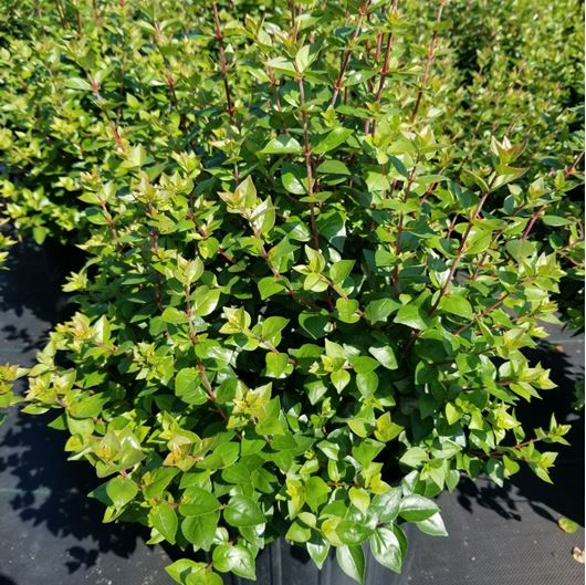 Picture of Abelia x 'Rose Creek'