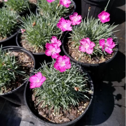 Picture of Dianthus x 'Firewitch'