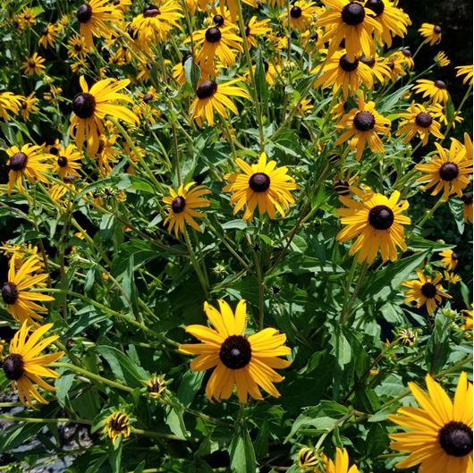 Picture of Rudbeckia fulgida 'Goldsturm'