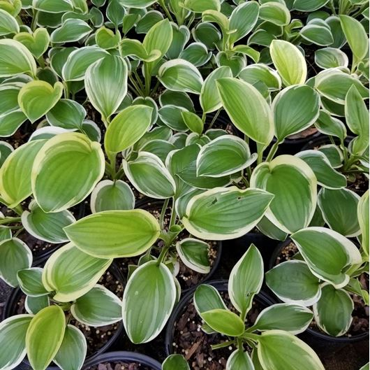 Picture of Hosta 'Diana Remembered'