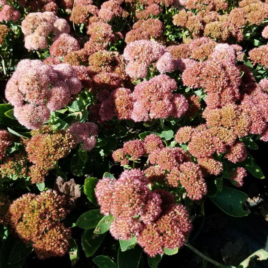Picture of Sedum 'Autumn Joy'