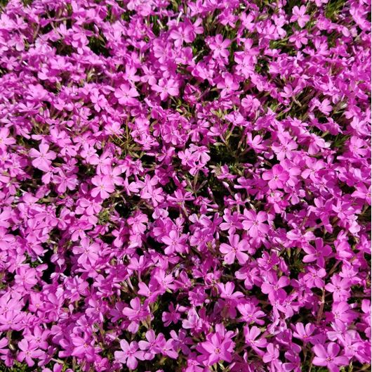 Picture of Phlox subulata 'Emerald Pink'